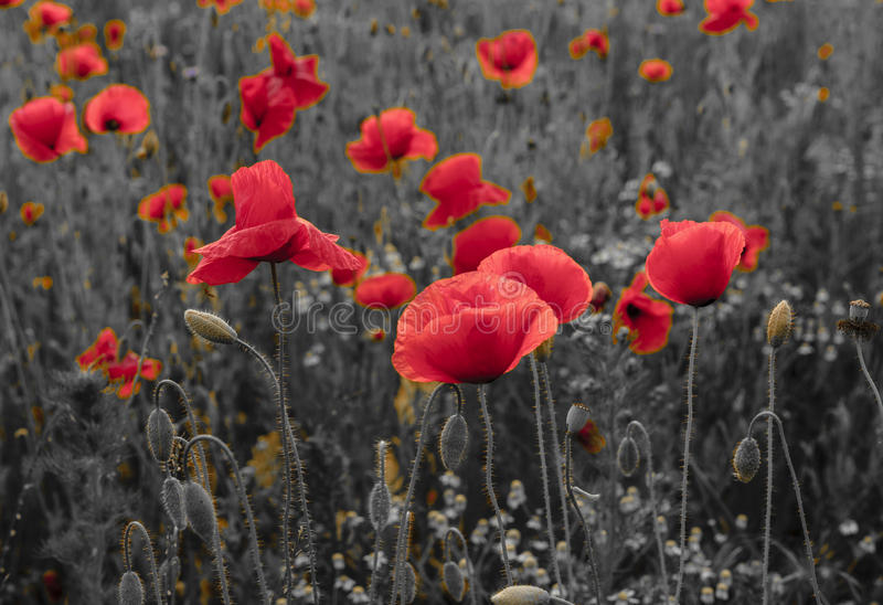 Panorama of poppies and wild flowers, selective color, red and b stock image