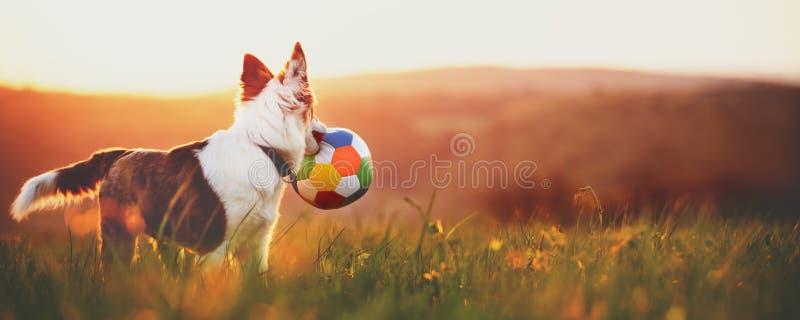 Panorama, portrait d'un jeune chien mignon avec une boule, lever de soleil ou s photographie stock