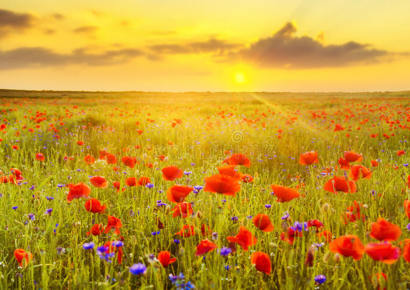 Panorama of red poppies and blue cornflowers royalty free stock image
