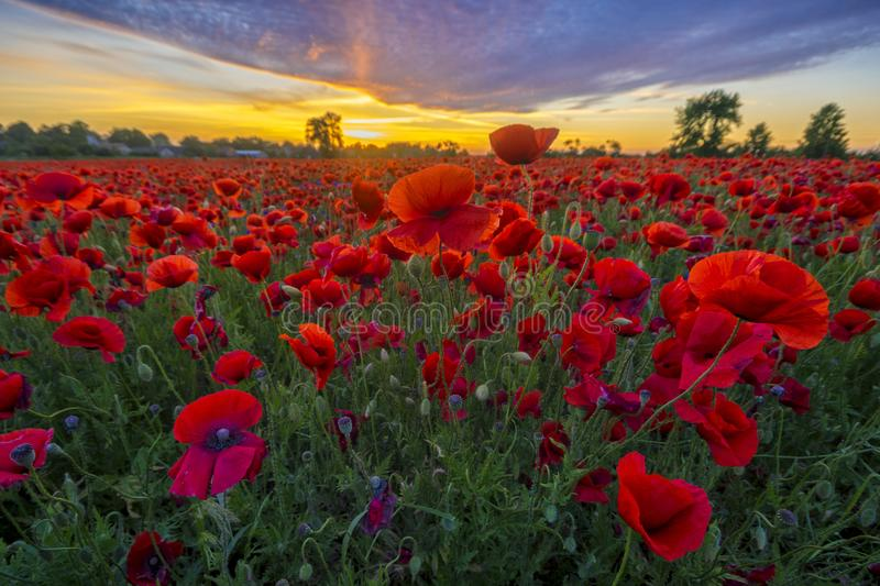 Panorama with red poppies royalty free stock image