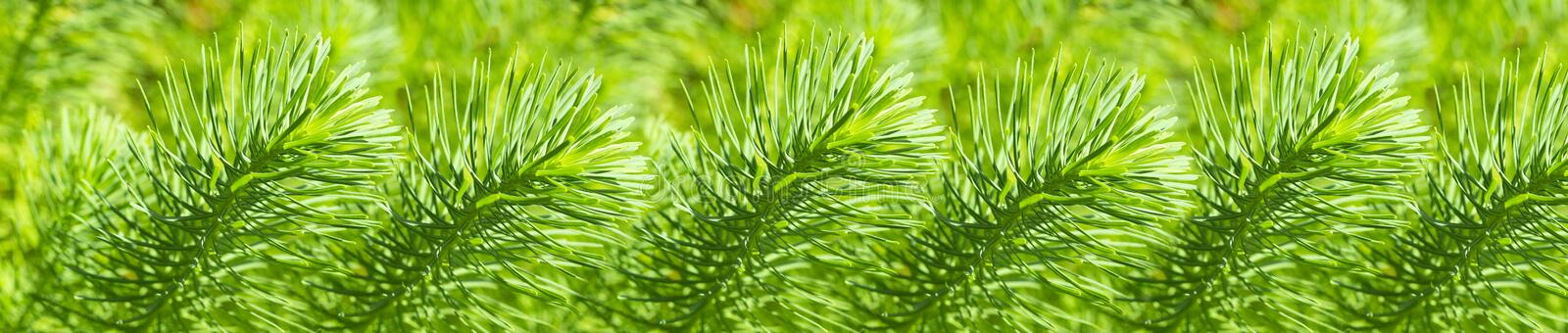Panorama of repeating twigs of Euphorbia cyparissias, background wallpaper banner stock photo