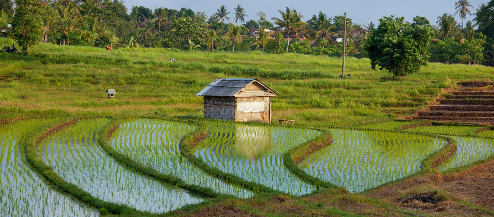 Rice water terrace field with green plants in sunset with shack in Bali, Indonesia royalty free stock photo