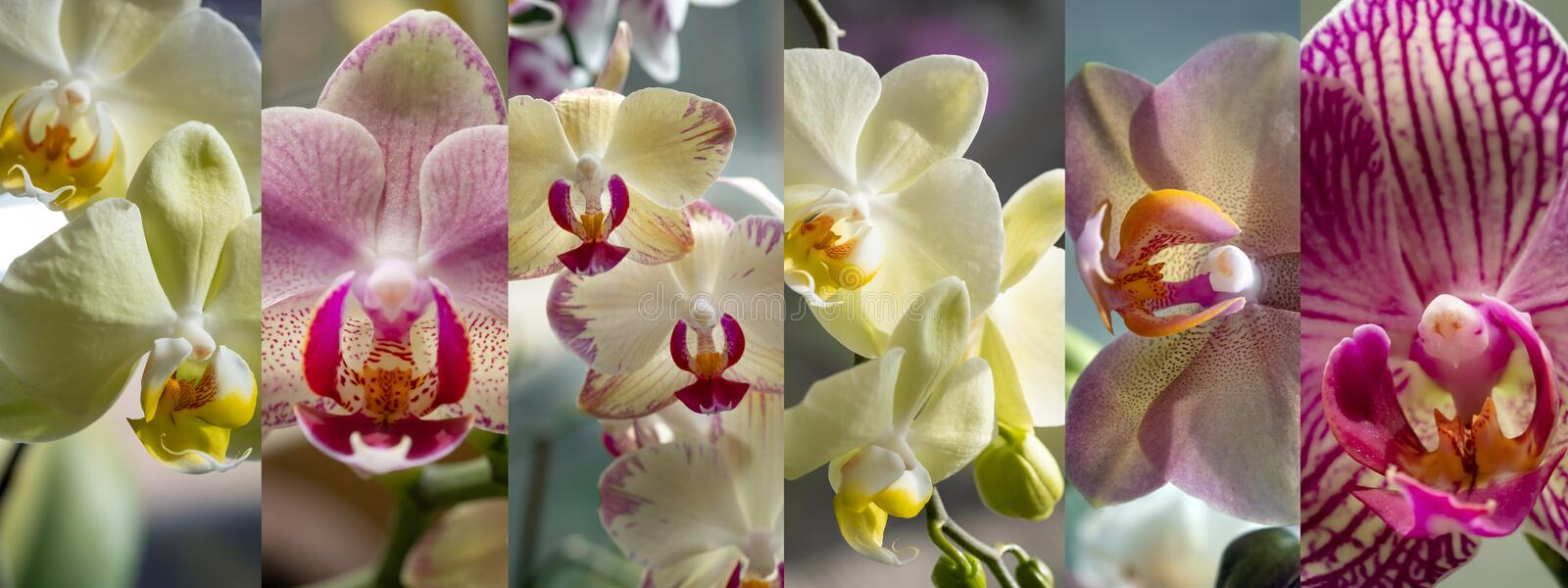 Panorama , Set of six different images, exotic orchids, natural light. Home ornamental plants. stock photography