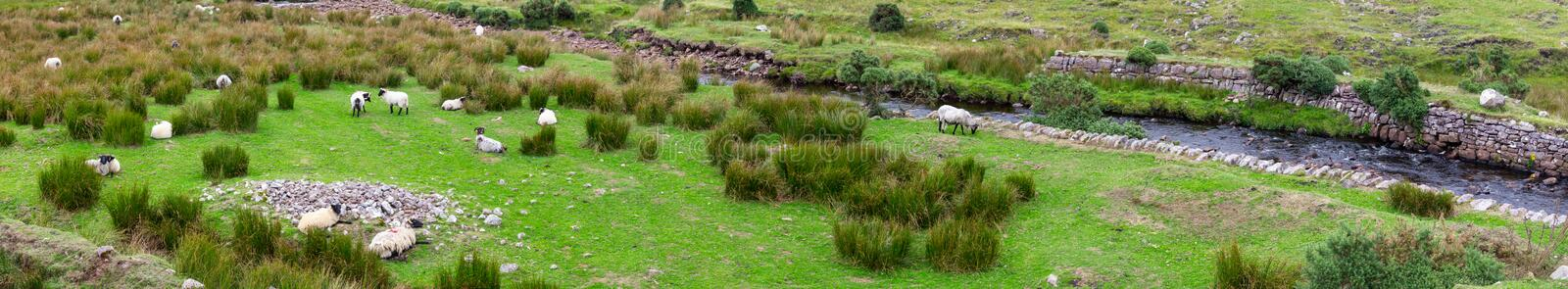 Panorama of a sheep herd, Great Western Greenway trail. Ireland stock images