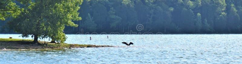 Panorama- Shoreline Percy Priest Lake med stor blå häger 1 arkivbilder
