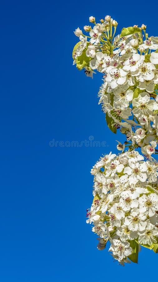 Panorama Sierlijke witte bloemen op de takken van een boom tegen duidelijke blauwe hemel royalty-vrije stock fotografie