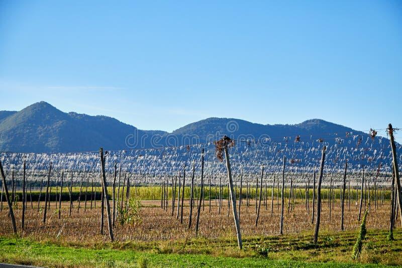 Panorama- skott av en sommarvingård utan druvor i hösten arkivfoton