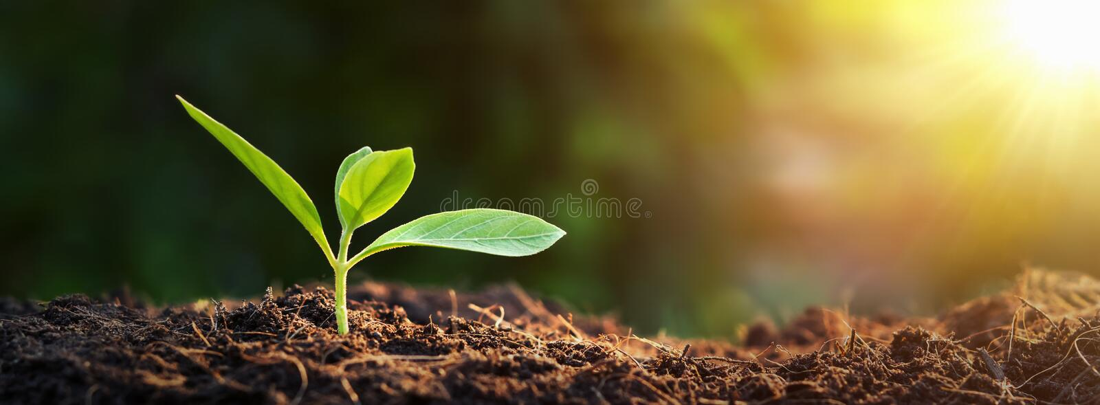 Panorama small tree growing with sunrise. green world and earth day concept royalty free stock images