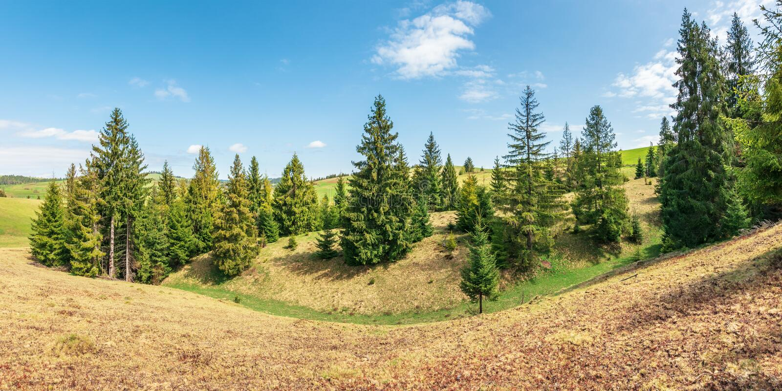 Panorama with spruce trees on a humps royalty free stock photography