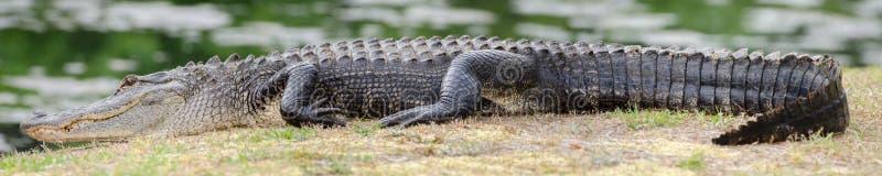 Panorama Strzelająca Wielki Wygrzewa się aligator fotografia royalty free