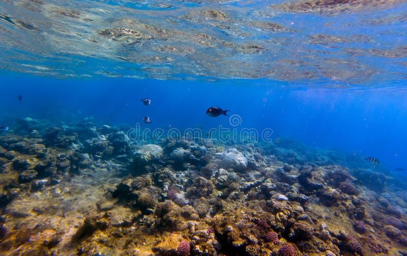 Panorama subaquático com peixes e coral imagem de stock