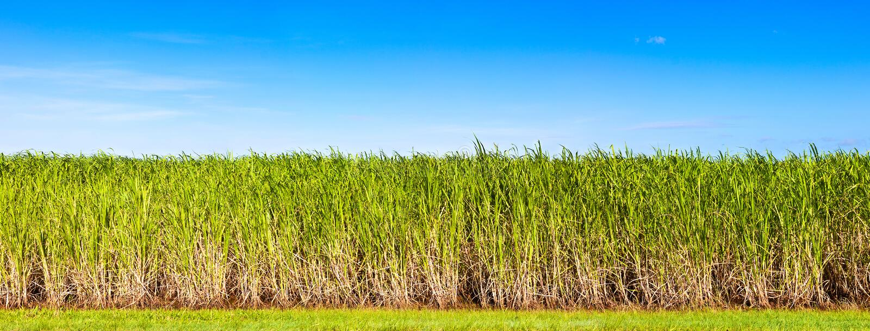 Panorama of sugar cane plantation. Vibrant panorama of sugar cane plantation in Queensland, Australia stock image