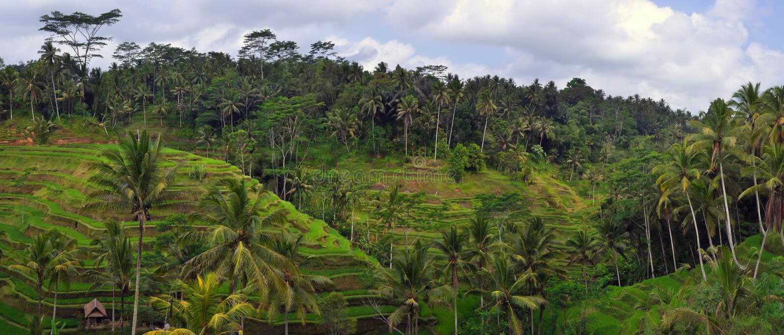 Panorama of Terraced Rice Fields in Bali royalty free stock photo