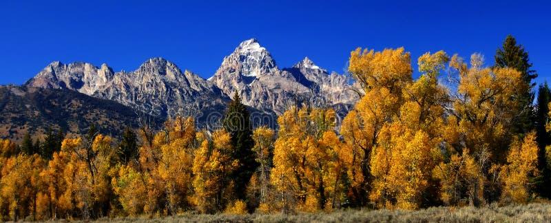 Panorama: Teton magnífico con los álamos tembloses de oro del otoño, fotografía de archivo libre de regalías