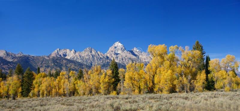 Panorama: Teton magnífico con los álamos tembloses de oro del otoño, imagen de archivo libre de regalías