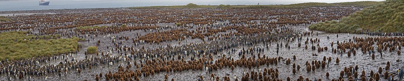 Panorama of king penguin colony on Salisbury Plains in South Georgia. royalty free stock photo