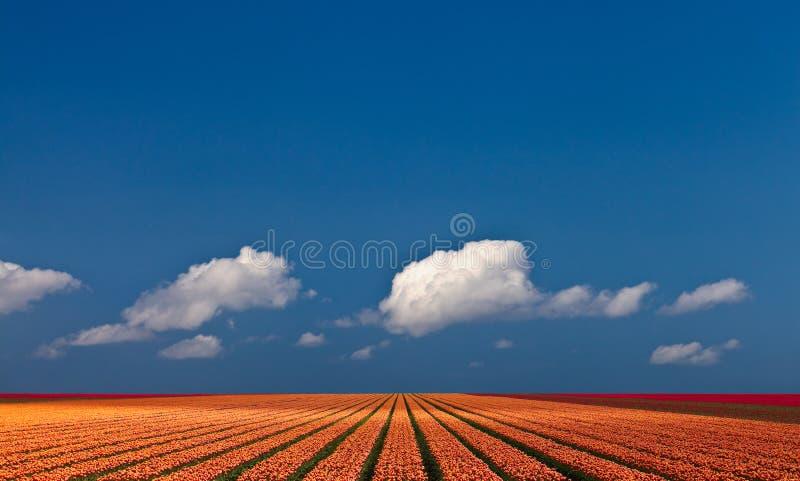 panorama- tulpansikt för färgrikt fält arkivfoto