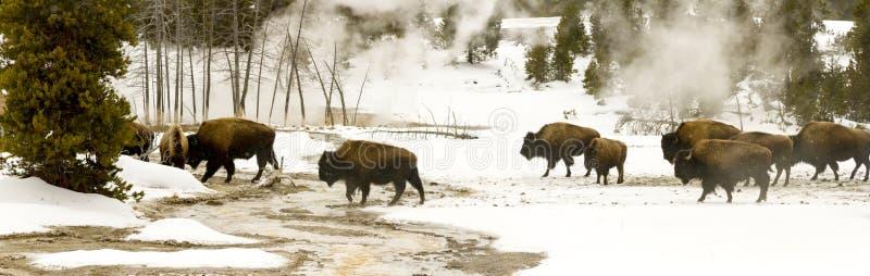 Panorama- utsikt av flocken av bisonen eller amerikanbuffeln i övreGe arkivfoto