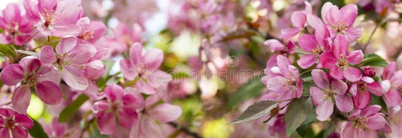 Panorama van appelboomgaard in bloei Roze krabbloemen van tot bloei komende appelboom Achtergrond behang royalty-vrije stock foto