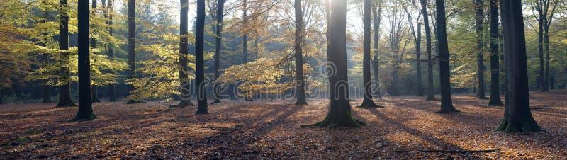 Panorama van de herfstbladeren en beukbomen in de herfst stock afbeelding