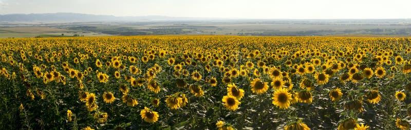 Panorama van de weide van landbouwzonnebloemen stock afbeeldingen