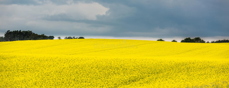 Panorama van een bloeiend geel raapzaadgebied met donkere hemel, Schotland stock afbeeldingen