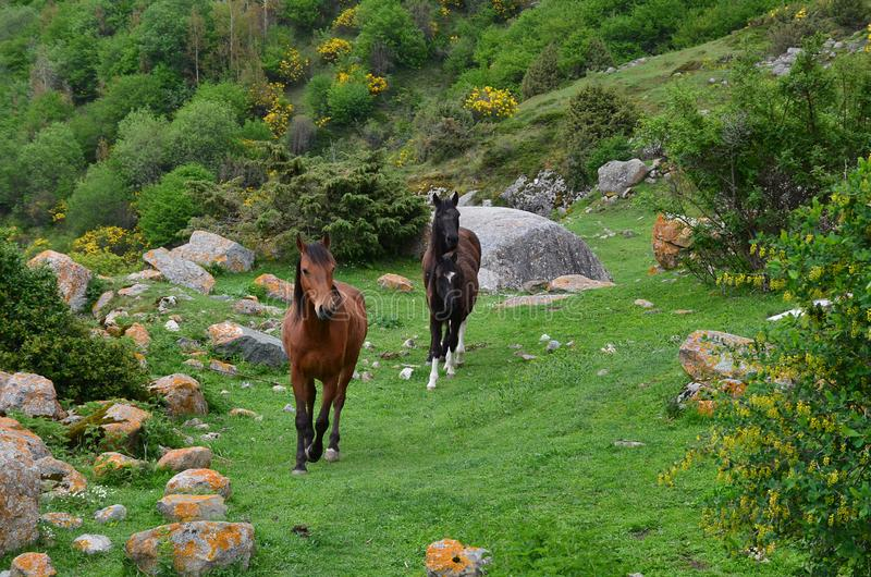 Panorama van een groene weide in de bergen met bloeiende gele struiken Close-up die van drie paarden de weide doornemen stock afbeeldingen