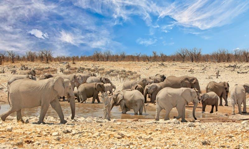 Panorama van een grote kudde van olifanten en zebras rond een waterhole in het Nationale Park van Etosha stock afbeeldingen
