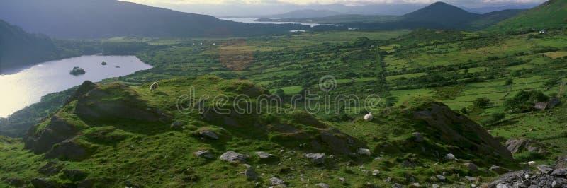 Panorama van geiten die in Healy Pass, Cork, Ierland weiden royalty-vrije stock afbeelding