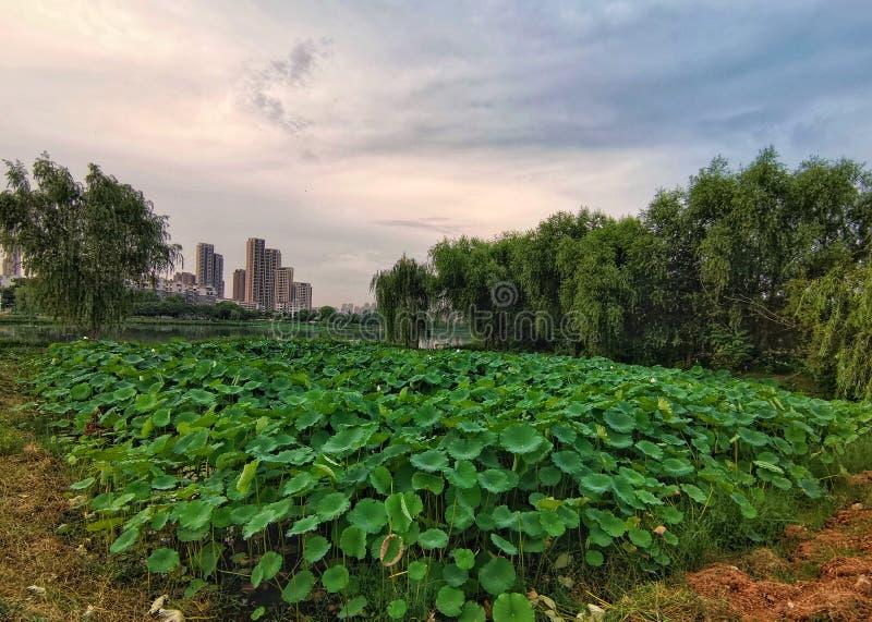 Panorama van lotusbloemvijver stock afbeelding