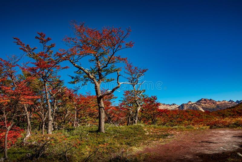 Panorama van magisch kleurrijk fairytalebos in Tierra del Fuego National Park, Patagonië, Argentinië, de Herfsttijd, blauwe hemel royalty-vrije stock afbeelding