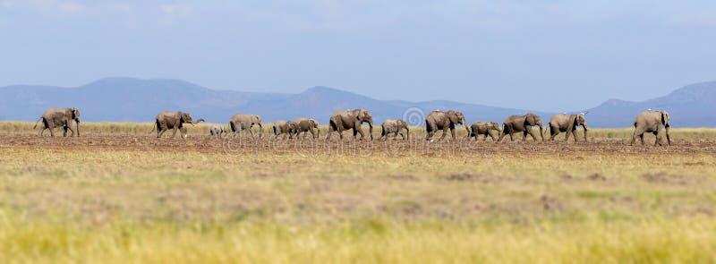 Panorama van olifanten die door Amboseli lopen royalty-vrije stock afbeeldingen