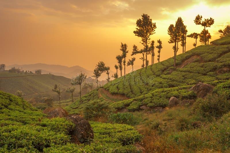 De aanplantingen van de thee in Munnar, Kerala, India royalty-vrije stock afbeeldingen