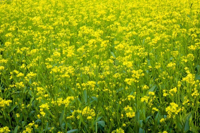 Panorama van tot bloei komend oliehoudend zaadgebied Het mooie landschap van de plattelands landelijke zomer met bloeiend raapzaa royalty-vrije stock afbeelding