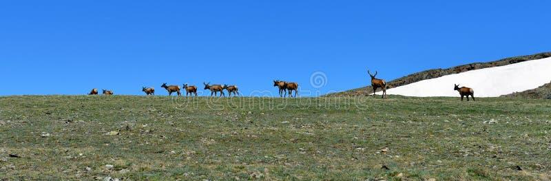 Panorama van wilde hertenkudde in het alpiene landschap van Colorado royalty-vrije stock fotografie