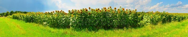 Panorama van zonnebloemgebied in zonnig weer royalty-vrije stock fotografie