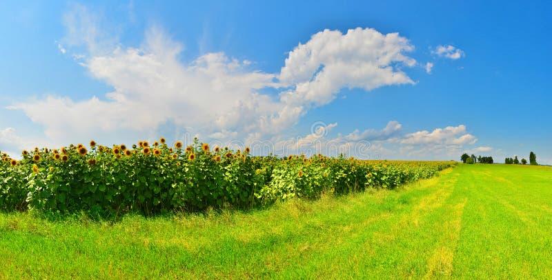 Panorama van zonnebloemgebied in zonnig weer royalty-vrije stock foto's