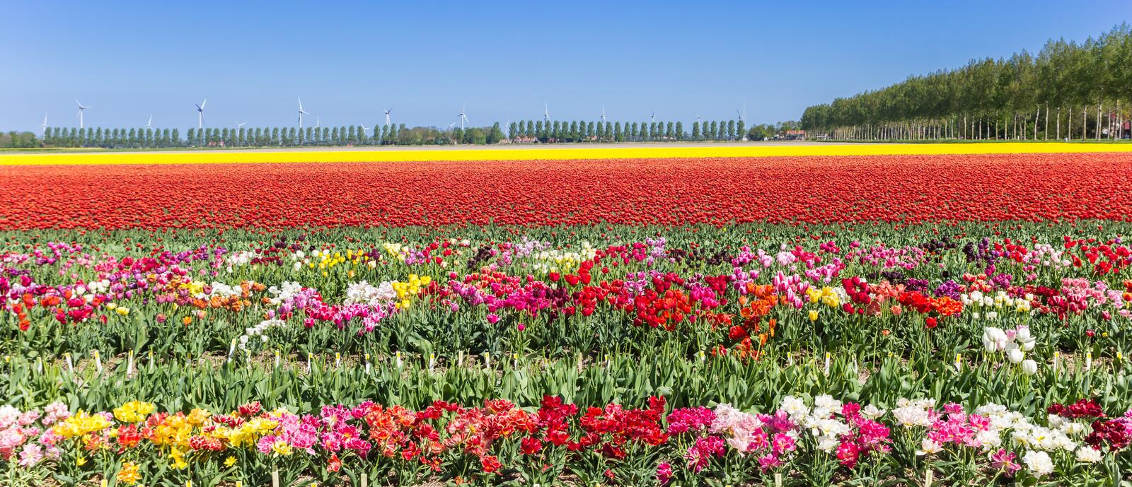 Panorama of vibrant colorful tulip flowers in Flevoland. The Netherlands stock photos