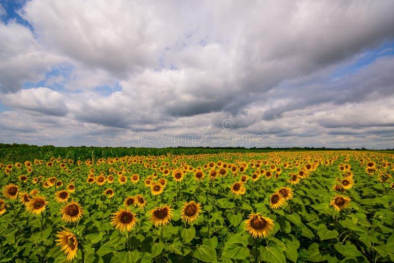 Panorama vibrant de gisement de tournesol avec de grands nuages blancs en été images stock