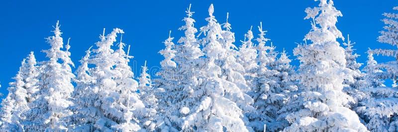 Panorama vibrante do fundo das férias do inverno com os pinheiros cobertos por nevadas fortes imagem de stock royalty free