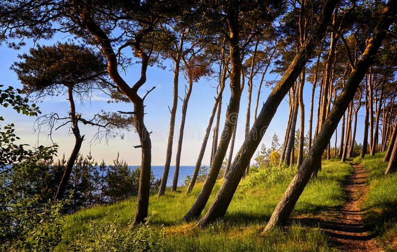 Panorama from the view of the Baltic sea cliff between the trees at the Baltic Sea. Coast, beach, coastline, sand, bluff, shore, bench, edge, landscape, nature royalty free stock image