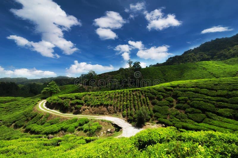 Panorama view of tea plantation, Malaysia royalty free stock images