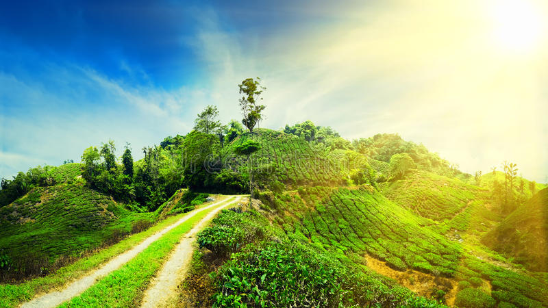 Panorama view of tea plantation, Malaysia stock photos