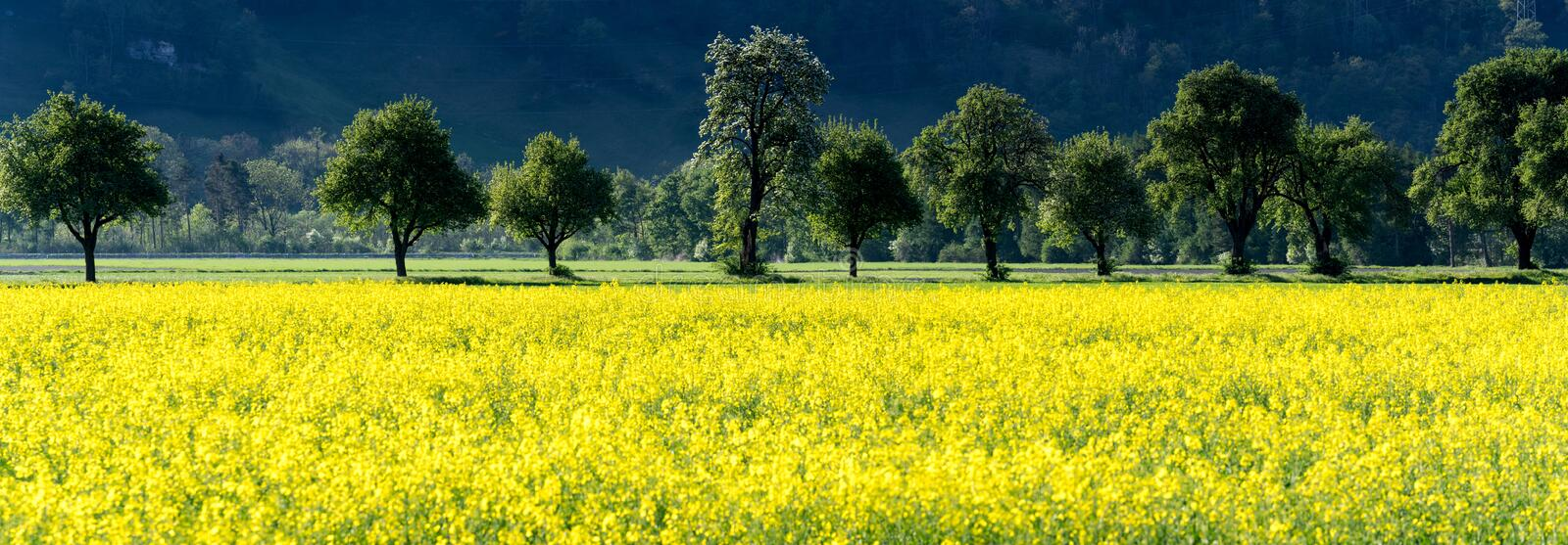 Panorama view of yellow rapeseed fields and blossoming fruit orchard trees in spring royalty free stock images