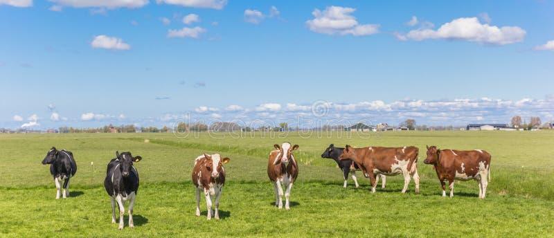 Panorama von Kühen in der niederländischen Landschaft lizenzfreies stockbild