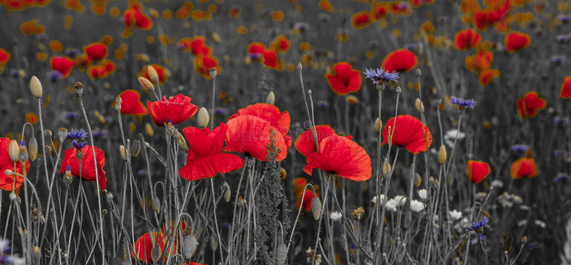 Panorama von Mohnblumen und wilde Blumen, selektive Farbe, Rot und b lizenzfreies stockbild