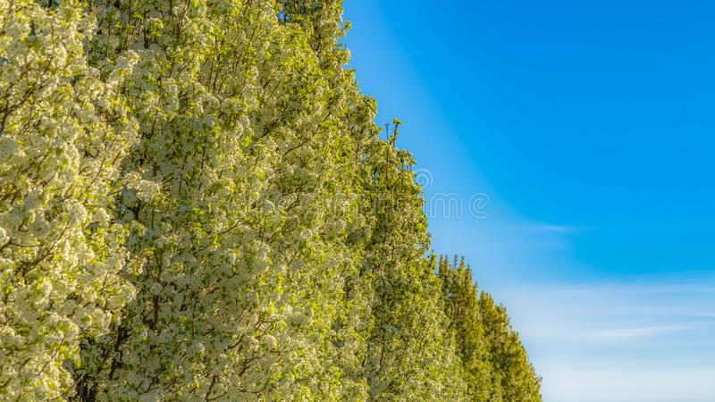 Panorama White flowers and bright green leaves of lush trees lining the road in spring. Houses and mountain under cloudy blue sky cna also be seen on this stock photography