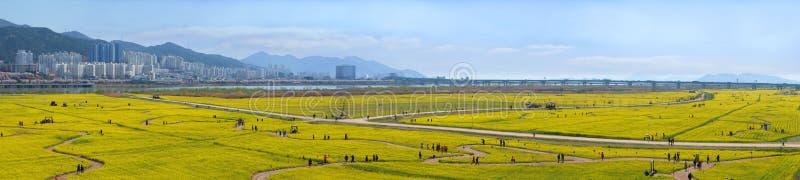 Panorama widok duży żółty gwałt kwitnie w Busan miasta korei południowej zdjęcia stock