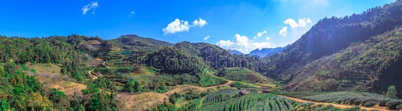 Panorama widok piękny herbaty gospodarstwo rolne na halnym wzgórzu przy popołudniem przy Angkhang zdjęcia royalty free