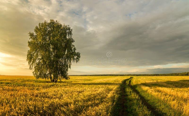 Panorama wiejski pole z banatką, osamotnioną brzozą i drogą gruntową przy zmierzchem, Rosja fotografia royalty free